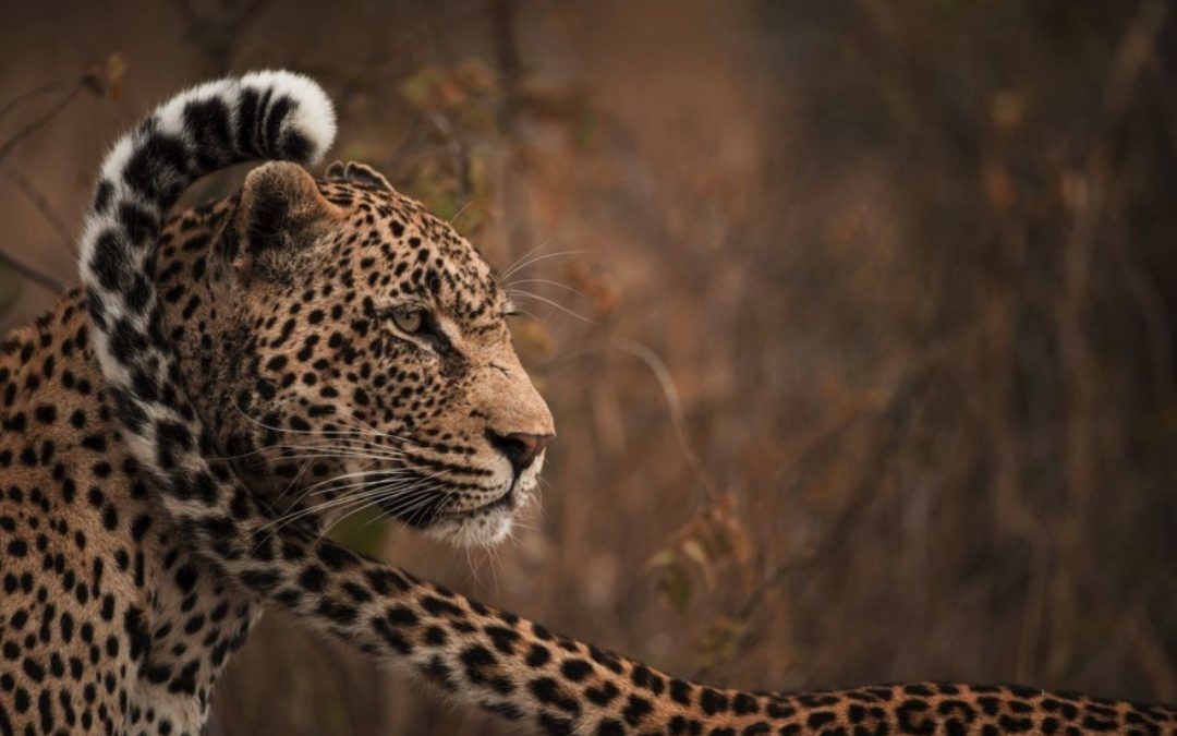 Singita wildlife safaris you can experience online