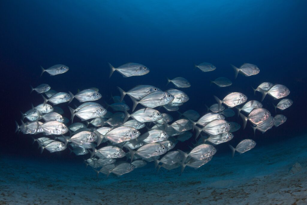 A school of fish under the sea in Amed