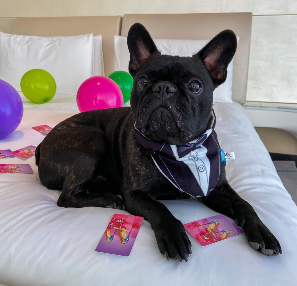 Black French bulldog lying on the bed in W Abu Dhabi surrounded by balloons